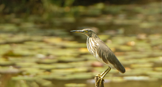 Koshi Tappu Wildlife Reserve (Paradise of Birds)